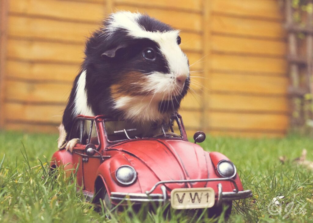 guinea pig in car driving
